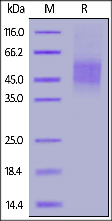 SDS-PAGE - Recombinant Human CD46 protein (BSA and azide free) (ab174047)