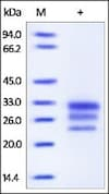 SDS-PAGE - Recombinant human IL-25 protein (ab174086)