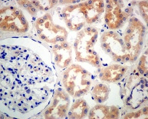 Immunohistochemistry (Formalin/PFA-fixed paraffin-embedded sections) - Anti-GALNTL2 antibody [EPR11580] (ab174275)