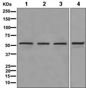 Western blot - Anti-DDX6 antibody [EPR12146] (ab174277)