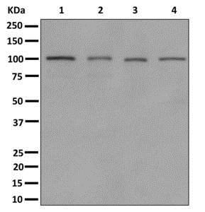 Western blot - Anti-MYO19 antibody [EPR12551-17] (ab174278)