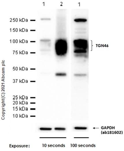 Western blot - Anti-TGN46 antibody [EPR12676] (ab174280)