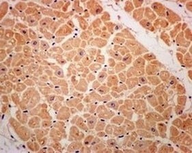 Immunohistochemistry (Formalin/PFA-fixed paraffin-embedded sections) - Anti-ADH5 antibody [EPR12886(B)] - C-terminal (ab174283)
