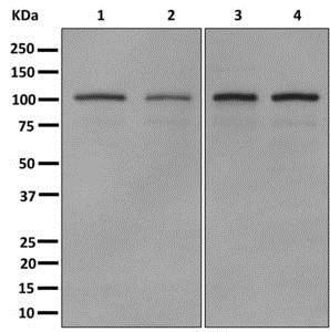 Western blot - Anti-MYO19 antibody [EPR12551-13] (ab174286)