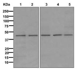 Western blot - Anti-DHODH antibody [EPR11814] (ab174288)