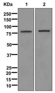 Western blot - Anti-ELMO1 antibody [EPR12919] (ab174298)