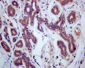 Immunohistochemistry (Formalin/PFA-fixed paraffin-embedded sections) - Anti-HPS1 antibody [EP8429(2)] (ab174301)