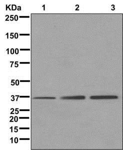Western blot - Anti-TRNP1 antibody [EPR11958] (ab174303)