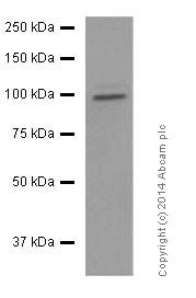Western blot - Anti-MKLP1 antibody [EPR10879] (ab174304)