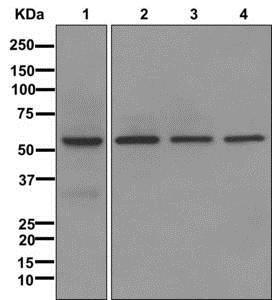 Western blot - Anti-NR1D1 antibody [EPR10376] (ab174309)