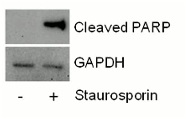 Demonstration of Cleaved PARP1 capture antibody specificity by western blot assay.