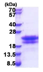 SDS-PAGE - Recombinant Human CEND1 protein (ab174454)