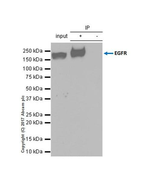 Immunoprecipitation - Anti-EGFR antibody [EP38Y] - Low endotoxin, Azide free (ab174481)