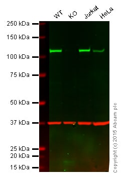 Western blot - Anti-NFkB p100/NFKB2 antibody [EPR4686] - BSA and Azide free (ab174482)