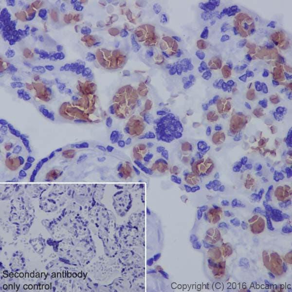 Immunohistochemistry (Formalin/PFA-fixed paraffin-embedded sections) - Anti-Hemoglobin subunit alpha antibody [EPR3608] - BSA and Azide free (ab174536)