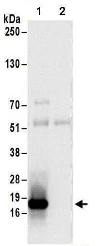 Immunoprecipitation - Anti-EDF1 antibody (ab174651)