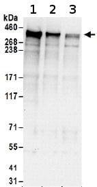 Western blot - Anti-Giantin antibody (ab174655)