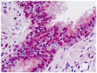 Immunohistochemistry (Formalin/PFA-fixed paraffin-embedded sections) - Anti-MAT1A antibody (ab174687)