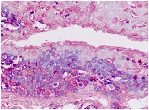 Immunohistochemistry (Formalin/PFA-fixed paraffin-embedded sections) - Anti-SPC18 antibody (ab174794)