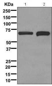 Western blot - Anti-ASAH1 antibody [EPR12108] (ab174828)