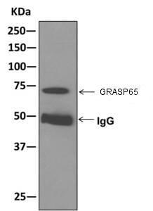 Immunoprecipitation - Anti-GRASP65 antibody [EPR12439] - C-terminal (ab174834)