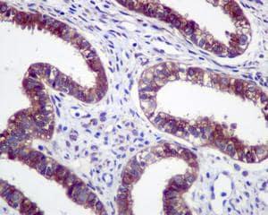 Immunohistochemistry (Formalin/PFA-fixed paraffin-embedded sections) - Anti-GRASP65 antibody [EPR12439] - C-terminal (ab174834)