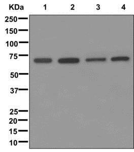 Western blot - Anti-GRASP65 antibody [EPR12439] - C-terminal (ab174834)