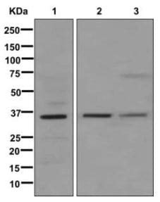 Western blot - Anti-MFAP4 antibody [EPR10255] (ab174845)