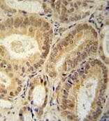 Immunohistochemistry (Formalin/PFA-fixed paraffin-embedded sections) - Anti-RBM24 antibody - N-terminal (ab174919)