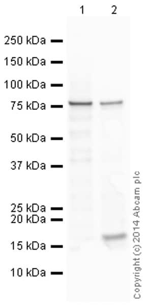 Western blot - Anti-Histone H3 (citrulline R2) antibody (ab174992)