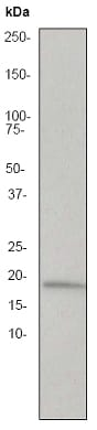 Western blot - Anti-TNF alpha antibody [EP1085Y] - BSA and Azide free (ab174999)