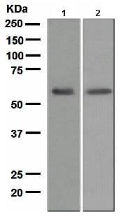 Western blot - Anti-LCAT antibody [EPR1383(2)] - BSA and Azide free (ab175019)