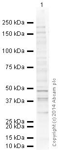 Western blot - Anti-Orai1 antibody [266.1] (ab175040)