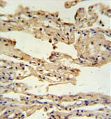 Immunohistochemistry (Formalin/PFA-fixed paraffin-embedded sections) - Anti-IFITM2 antibody - N-terminal (ab175124)