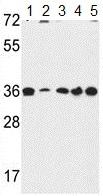 Western blot - Anti-Torsin B antibody (ab175131)