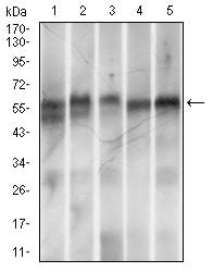 Western blot - Anti-RING1 antibody [8C12F4] (ab175149)