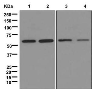 Western blot - Anti-xCT antibody [EPR8290(2)] (ab175186)