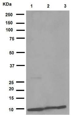 Western blot - Anti-MIF antibody [EPR12463] (ab175189)