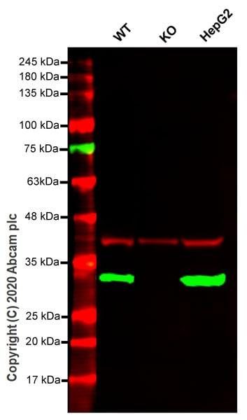Western blot - Anti-ERp29 antibody [EPR12985] (ab175193)