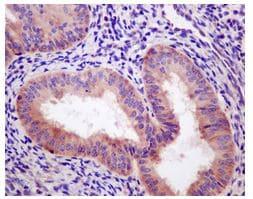 Immunohistochemistry (Formalin/PFA-fixed paraffin-embedded sections) - Anti-Ribosomal protein S11/RPS11 antibody [EPR11487] (ab175213)