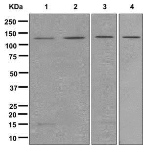 Western blot - Anti-Rad21 antibody [EPR12647] (ab175215)