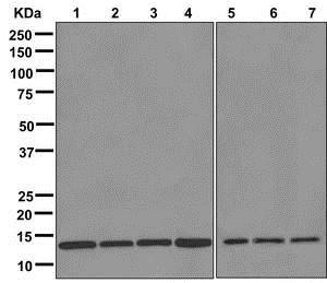 Western blot - Anti-RPS12 antibody [EPR10963] (ab175219)