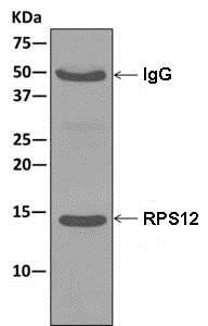 Immunoprecipitation - Anti-RPS12 antibody [EPR10963] (ab175219)