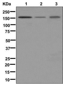 Western blot - Anti-ZBTB40 antibody [EPR11853] (ab175220)