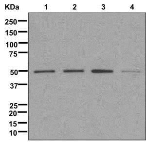 Western blot - Anti-SEPT7 antibody [EPR12610] (ab175229)
