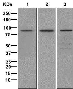 Western blot - Anti-L3MBTL3 antibody [EPR11854] (ab175232)