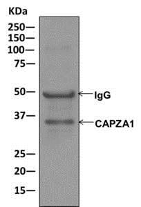 Immunoprecipitation - Anti-CAPZA1 antibody [EPR11210-4R] (ab175233)