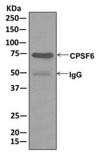 Immunoprecipitation - Anti-CPSF6 antibody [EPR12898] (ab175237)