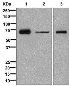 Western blot - Anti-Munc18c antibody [EPR12447] (ab175238)