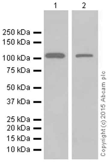 Western blot - Anti-MVP antibody [EPR13227(B)] (ab175239)